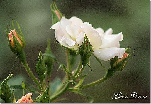 Rose_Bonica2
