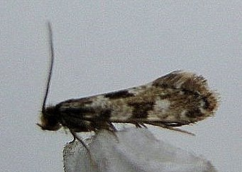 216 Nemapogon cloacella, the Cork Moth Devil's Dingle 080711