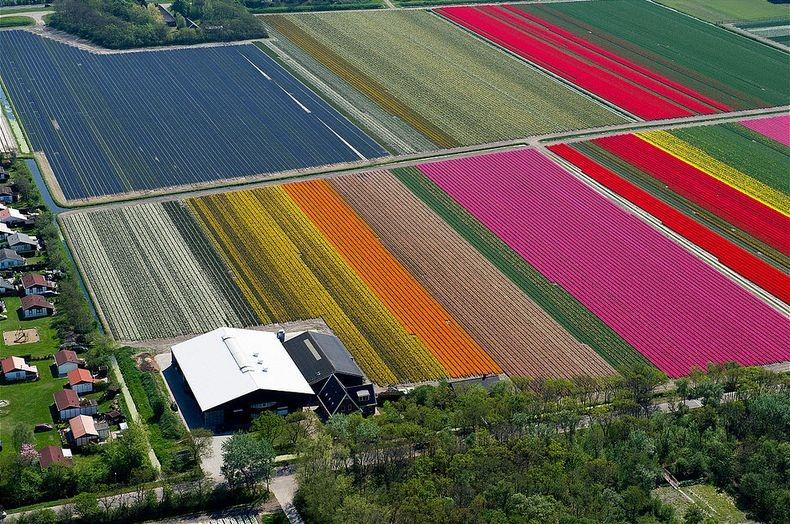 tulip-field-8