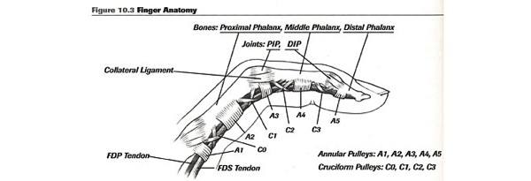 Injury a2 finger anatomy 1