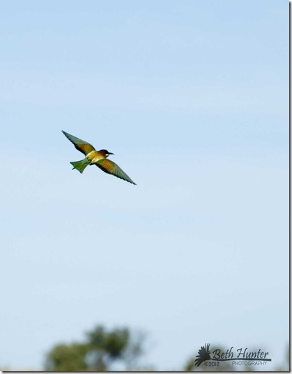 eruo-bee-eater