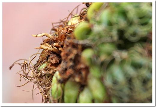 120330_Mammillaria-camptotricha-marnier-lapostollei_05