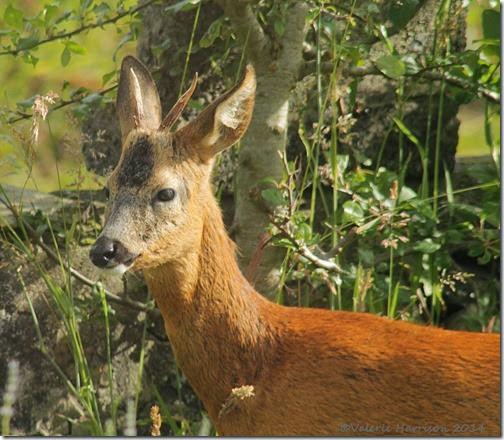 Roe-Deer (2)