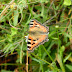 Nymphalidae%25252c%252520aglais%252520cashmirensis%25252c%252520indian%252520tortoiseshell