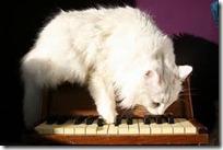 gato pianista blogdeimagenes (6)