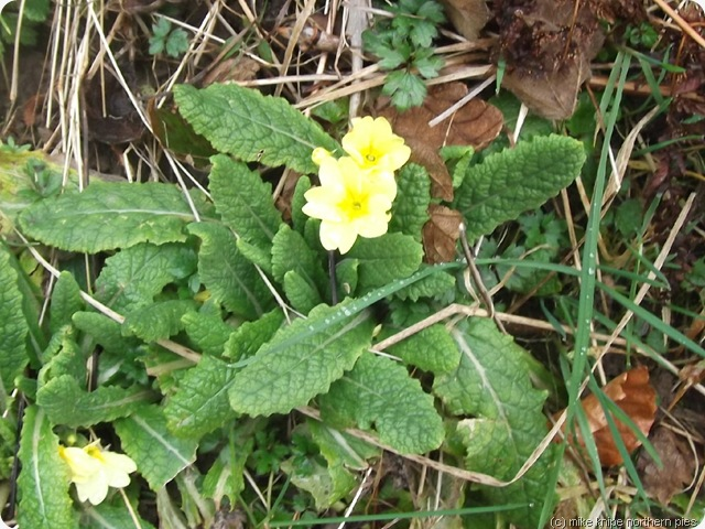 not a very good pic of a primrose