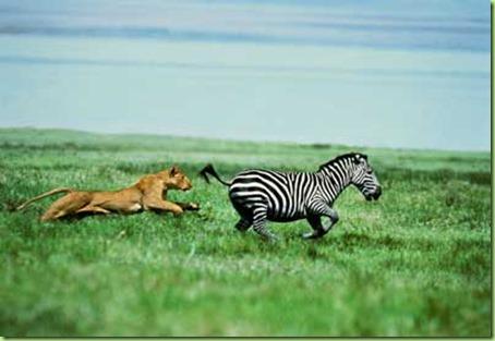 cheetah-chasing-zebra