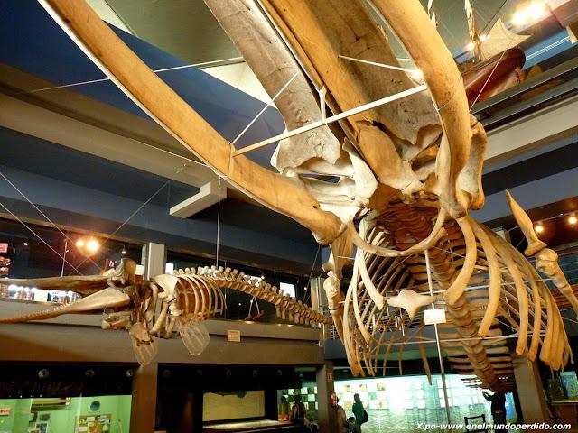 esqueletos-cetaceos-santander.JPG