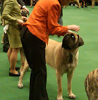 Mastiff in the ring