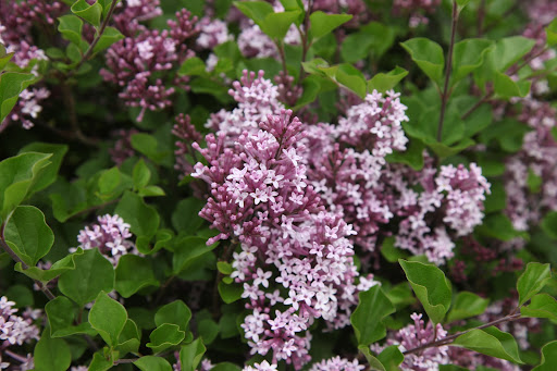 It's coming from the standard lilac trees blooming near the apple espalier!