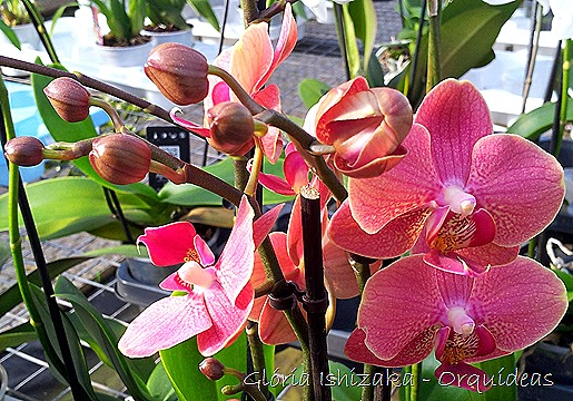 Glória Ishizaka - orquideas 19