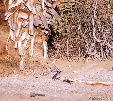 5. Gambel's quail-kab