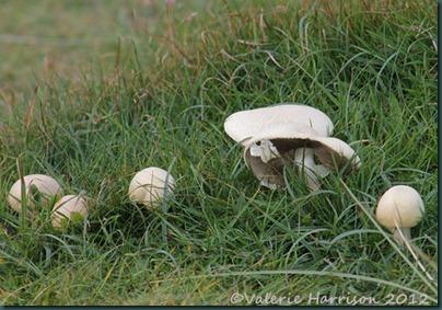 26-mushrooms