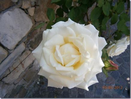 Giardino iris e rose 251