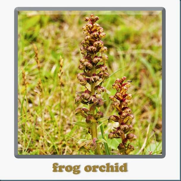 frogochid