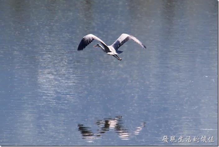 花蓮-理想大地渡假村-豐之谷生態公園。在理想大地風之谷見到的「蒼鷺」,蒼鷺非常大一隻,想要看不見牠也難,飛行速度緩慢,所以可以讓我拍得這麼清楚。