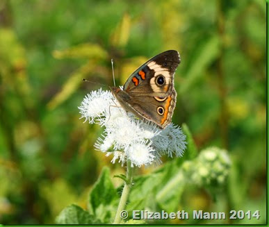 41-common buckeye