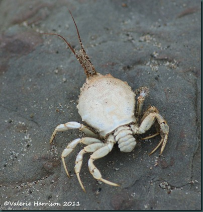 27 Masked-Crab-Corystes-cassivelaunus