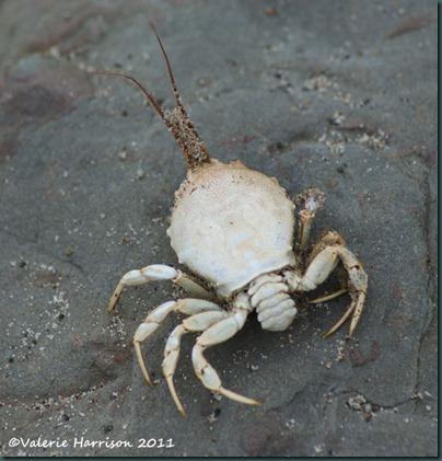 27 Masked-Crab-Corystes-cassivelaunus