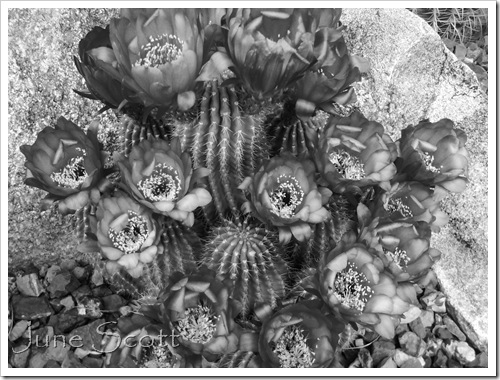 Cactus_BlackNWhite