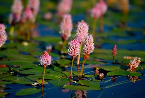 water knotweed polygonum amphibium