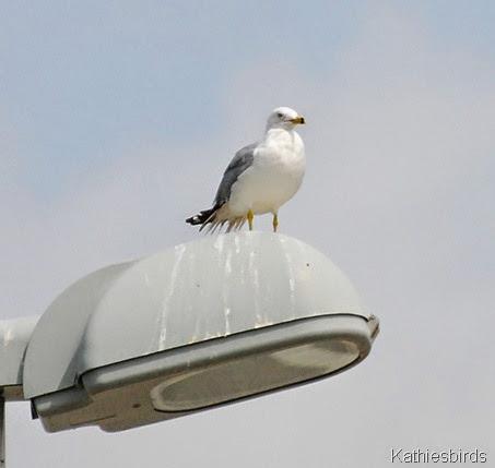 6. rb gull-kab