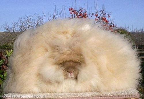 coelho angora peludo desbaratinando (19)