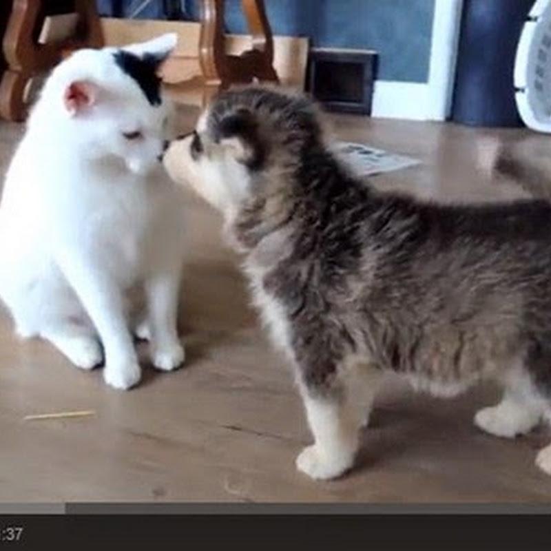 Κουταβάκια παίζουν με μια γατούλα