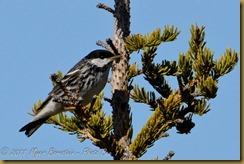 Blackpoll Warbler D7K_9851 NIKON D7000 June 20, 2011
