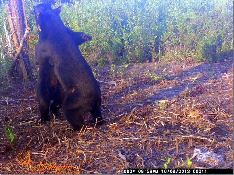 Dancing Bear's captured on JRogers Wildlife camera