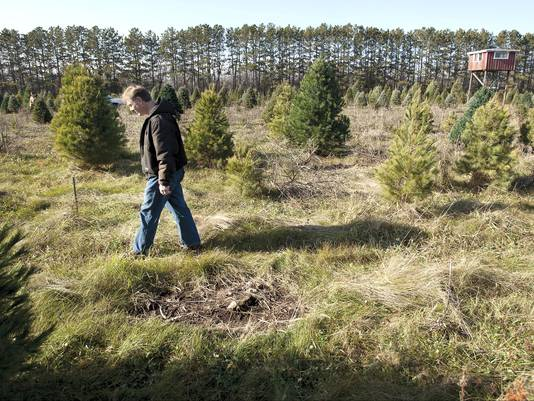 Mark Utzig paces through Tannenbaum Acres, a Janesville, Wisconsin, tree farm, during the fall of 2012. The high temperatures and record drought of summer 2012 wreaked havoc on the farm. 'Normally we lose 5 percent of the trees for various reasons. This year, it was 95 percent.' Photo: Mark Kauzlarich / The Janesville Gazette / AP