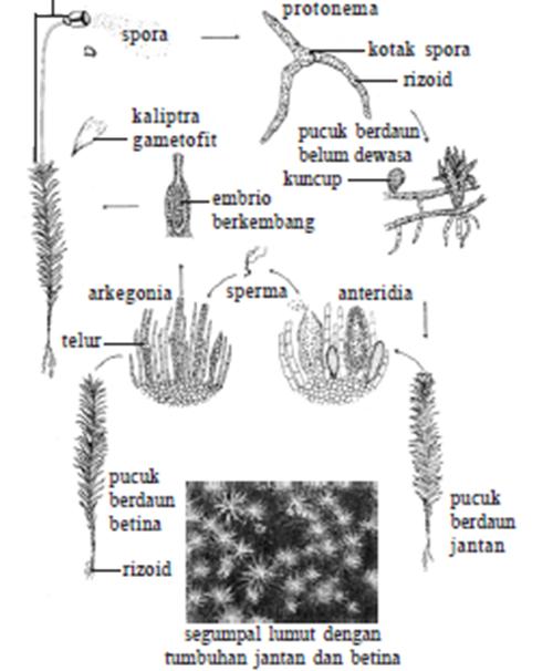 daur hidup lumut
