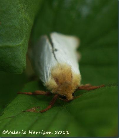 ghost-moth-2