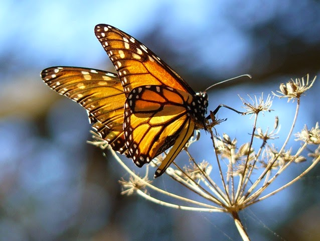 Monarch butterfly resting on fennel, at the Pismo Butterfly Grove, California. Photo: docentjoyce / Wikimedia Commons