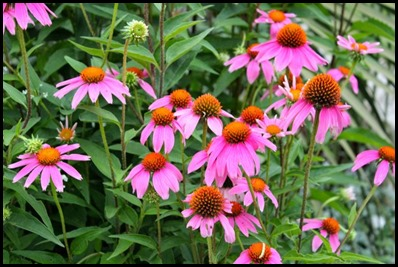 purple-coneflower4