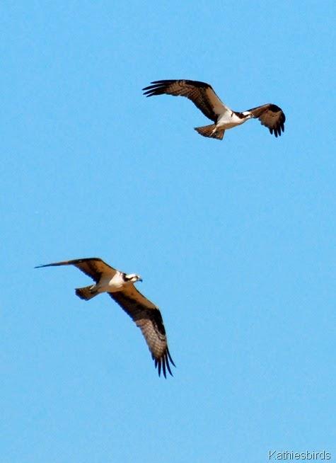 12. osprey pair-kab