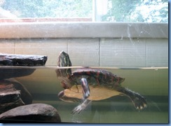 7195 Restoule Provincial Park - Visitor Centre - painted turtle Penelope