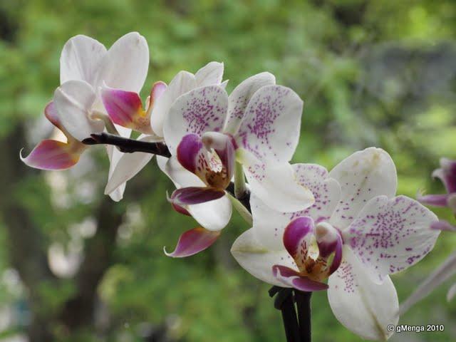 Orchidée papillon - Phalaenopsis