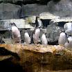 Penguins at Shedd Aquarium