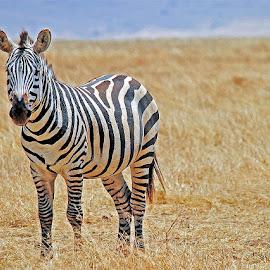 Zebra by Jaliya Rasaputra - Animals Other Mammals