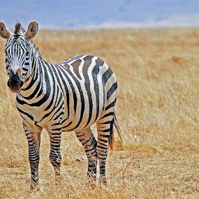 Zebra by Jaliya Rasaputra - Animals Other Mammals (  )