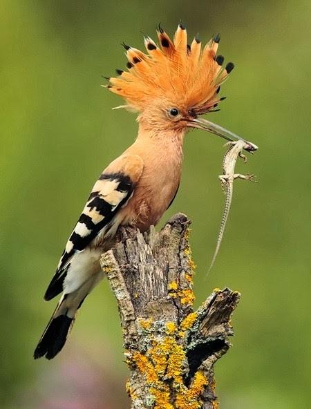Burung hud-hud hoopoe