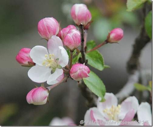 20-crab-apple-blossom