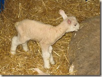 baby_lamb_closeup