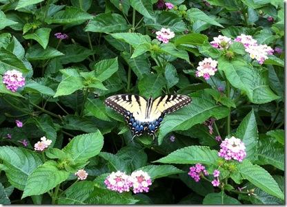 butterfly lantana