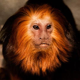 by Sue Conwell - Animals Other Mammals ( orange, tamrin lion, chicago, lincoln park zoo, monkey )