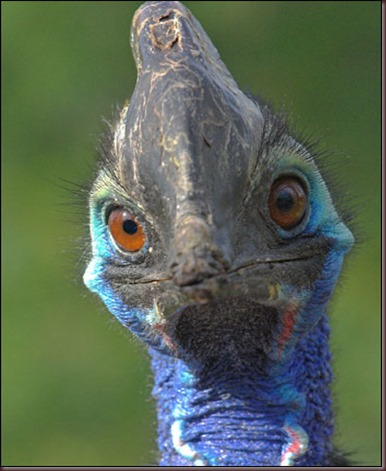 Amazing Animal Pictures The cassowary (2)