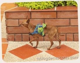 Lesiones en la pata del perro
