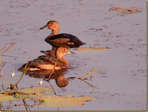 lesser whistling ducks - Goa