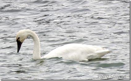 Tundra Swan and Mallards